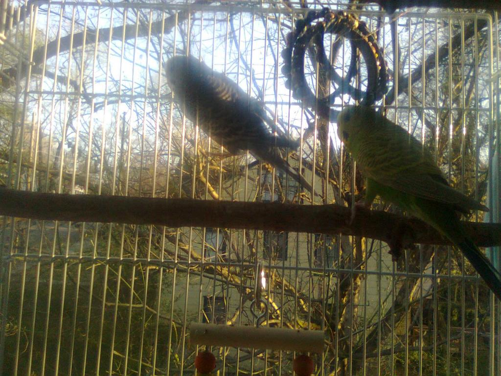 A feathered baby budgie, is he pied?-0060.jpg