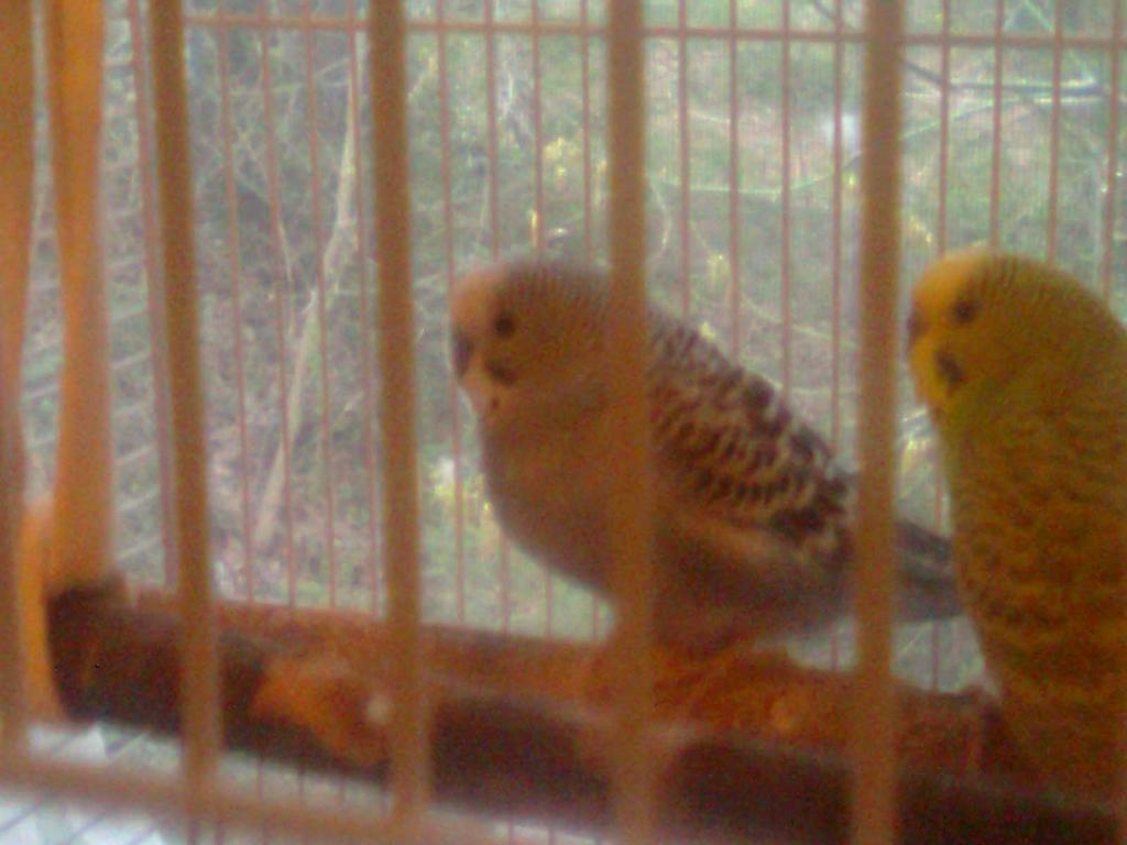 A feathered baby budgie, is he pied?-0061.jpg