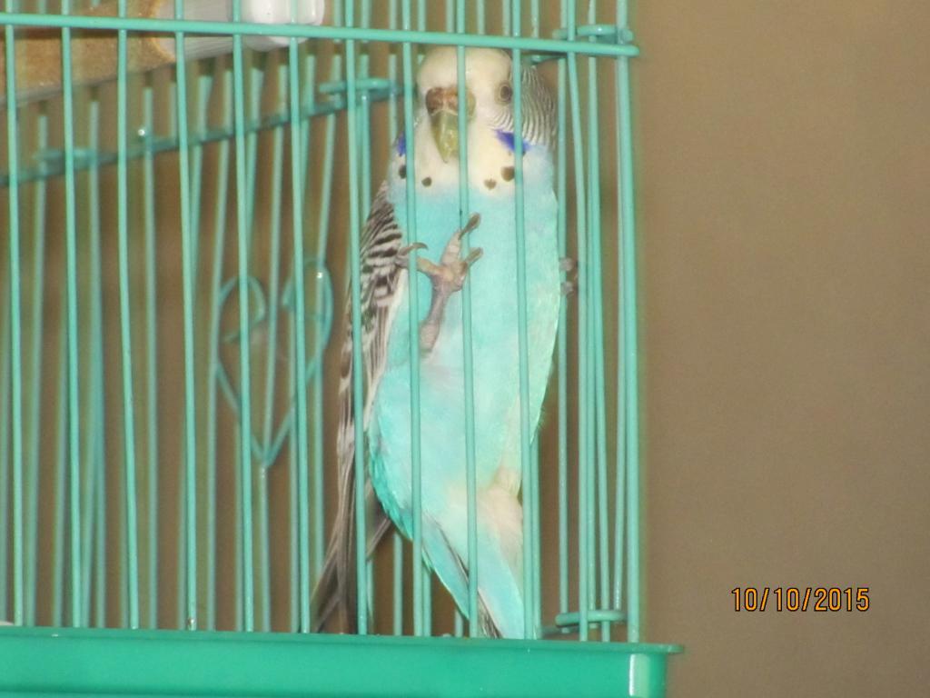 Found blue budgie in Arkansas-001.jpg