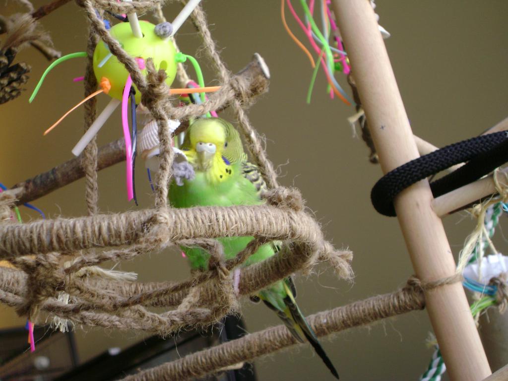 Fly High my beautiful budgie girl, Spyro :(-003.jpg