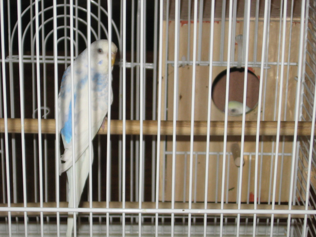Recessive and dominant pied?-010311-1-noelle-chick-1-23-days-.jpg