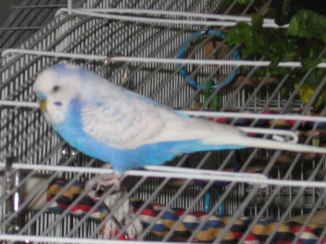 Spangle and ... Clearflight Pied or Dominant Pied?  Opaline, too?-011917-2.jpg