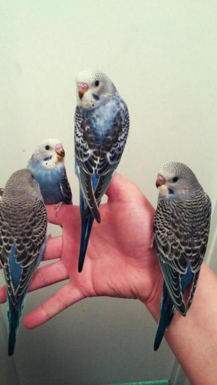 Budgie won't stay on finger-0212170918a%7E2_1487362479079.jpg
