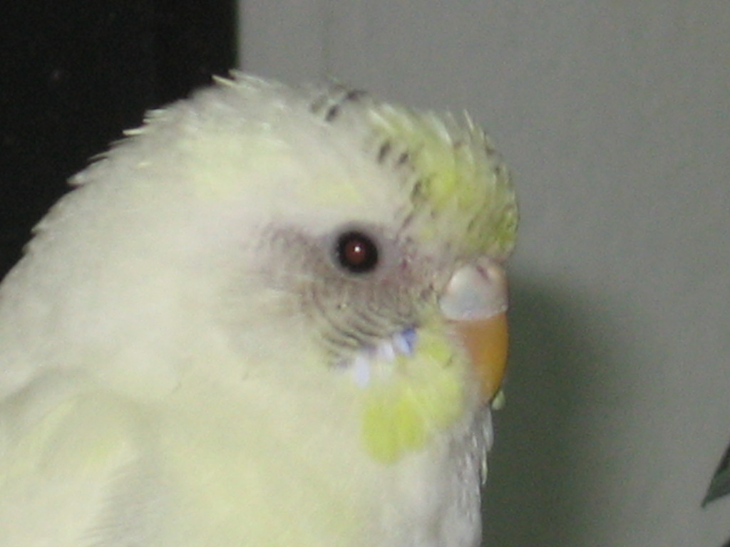 Help on sexing a young budgie...?-021409-1-ashley.jpg