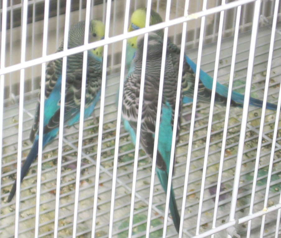 Do your Budgies stand almost beak to beak-041911-1-mr-blue-parker-ben.jpg