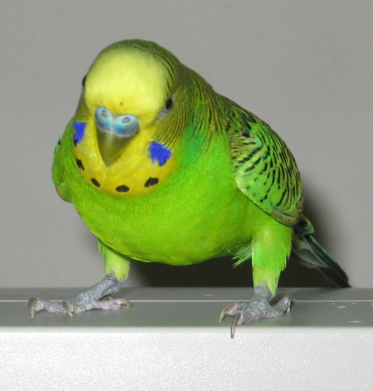 What color mutations are my birds?-072410-jonah.jpg