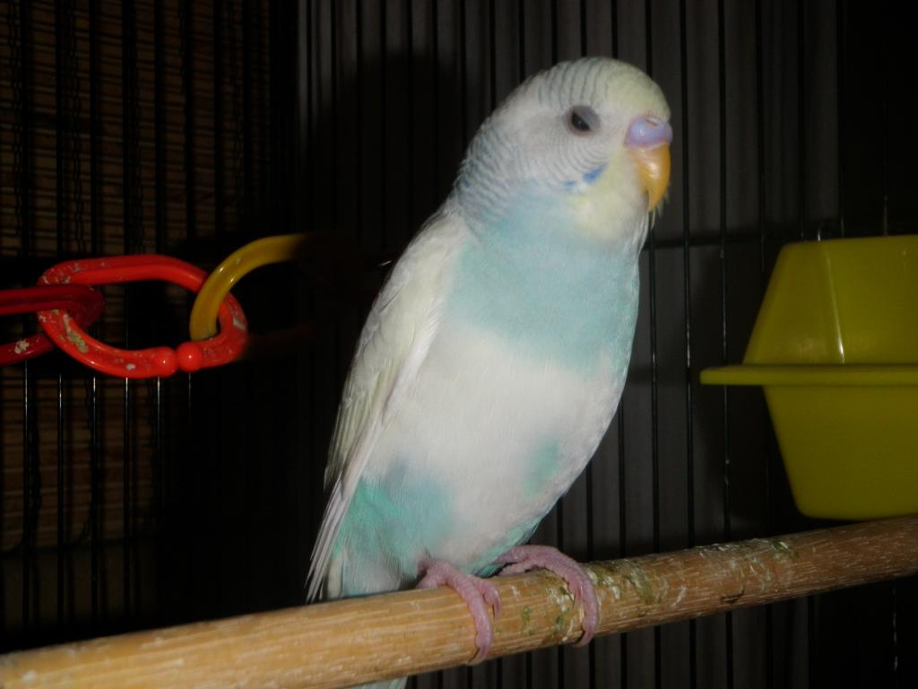 Got a new budgie, wondering what genetic she has-080.jpg