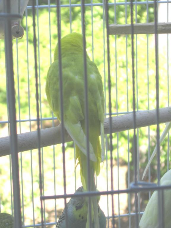 Sunny and Shelby - What are their Mutations?-081511-4-flock-20-new-bird.jpg