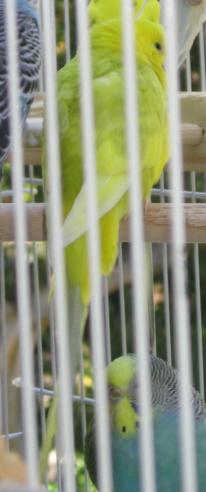 Sunny and Shelby - What are their Mutations?-081511-6-flock-20-new-bird-close-up.jpg