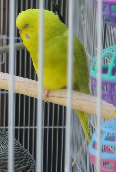 Sunny and Shelby - What are their Mutations?-081511-9-flock-20-new-bird-close-up.jpg