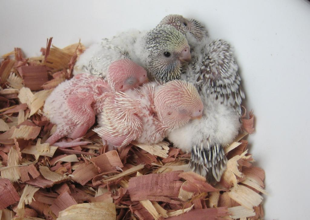 Get ready for a baby budgie fix!-1.jpg