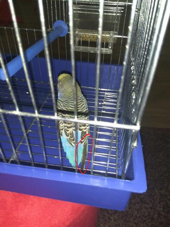 Budgie bleeding and flying trouble :(-1.jpg