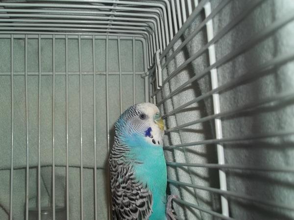 What mutation/sex is this bird?-100_1406.jpg