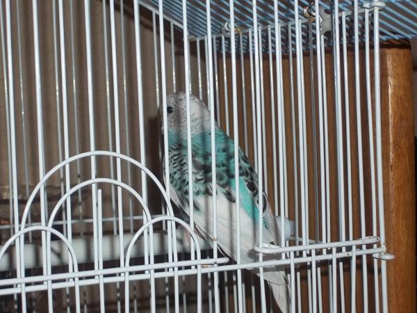 What mutation/sex is this bird?-100_1413.jpg