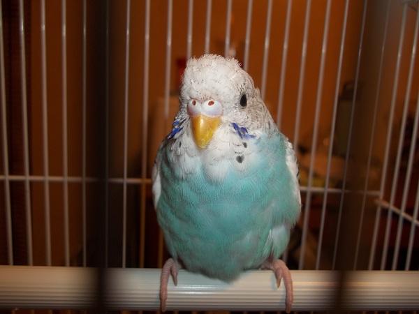 What mutation/sex is this bird?-100_1414.jpg