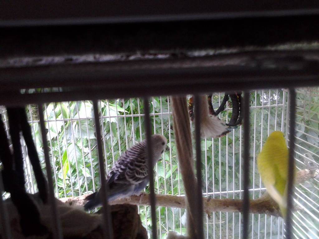 A feathered baby budgie, is he pied?-1070068_499297606814565_722742671_n.jpg