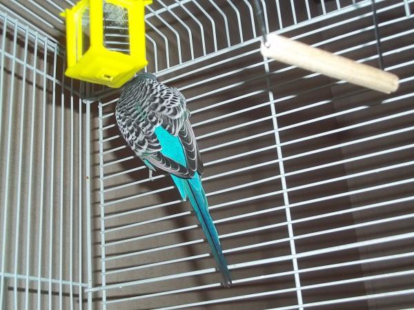 What mutation/sex is this bird?-107_1187.jpg
