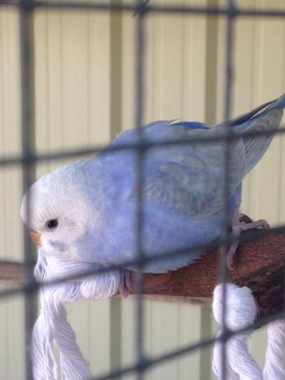 What is my new budgie, Bindi? :)-10833907_945346558826361_2142536577_n.jpg