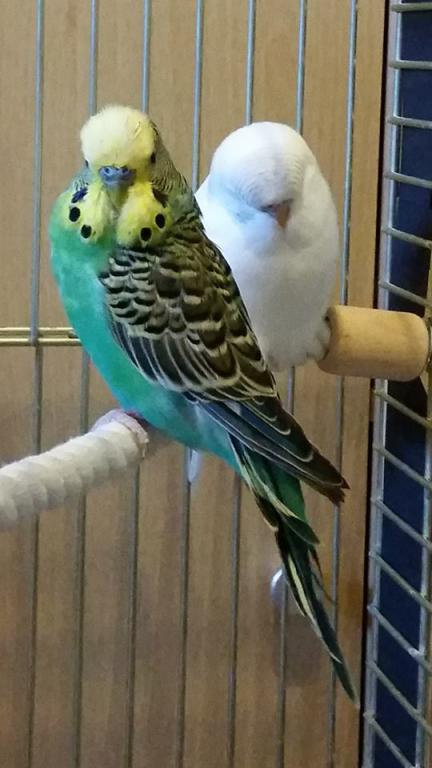 Budgie Flew into window, is he ill?-11148896_10206708260892299_1530431846_n.jpg