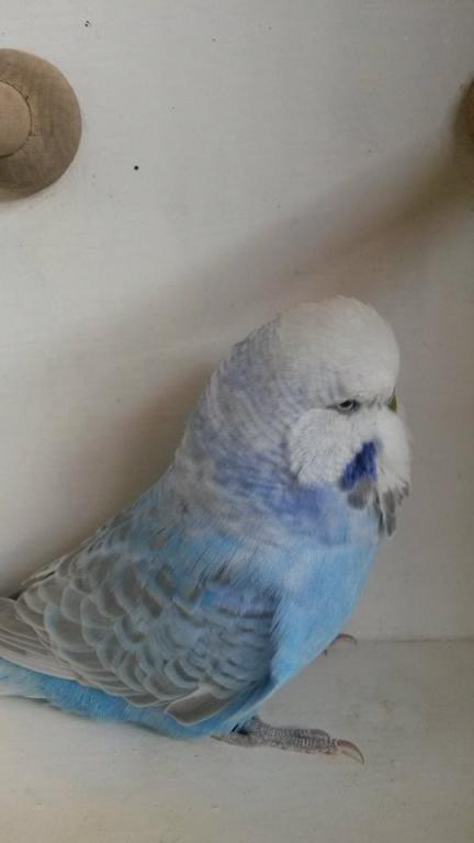I would like to know about my budgie?-11720636_10152990069412654_23902314_n.jpg