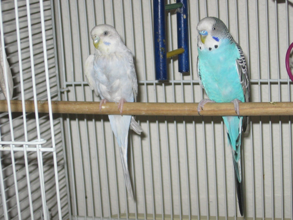 Predict mutations for Jonah and Noelle's two chicks-120608-1-nibbles-mr.-blue.jpg