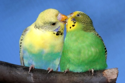 It sounds silly but my budgies look like their kissing!!-1246.jpg