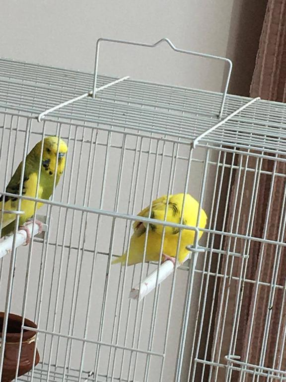 Injured budgie help!-13129028_1072051736167023_1113043372_o.jpg