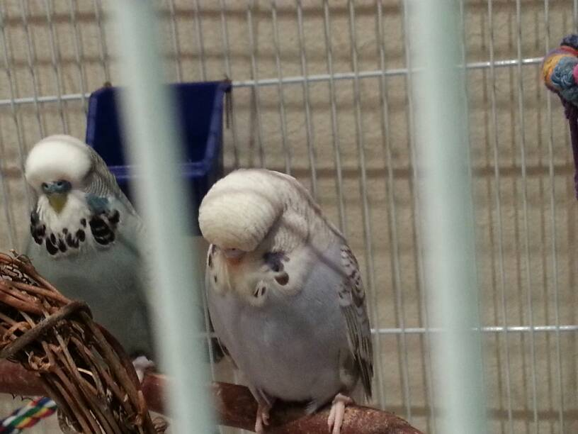 Look what I got! Beautiful English Budgies!-1417393295555.jpg