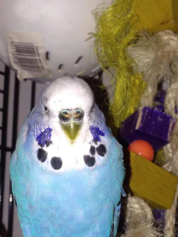 my male budgie has dark brown/black cere-14203563_10154458202031704_707148767_o.jpg