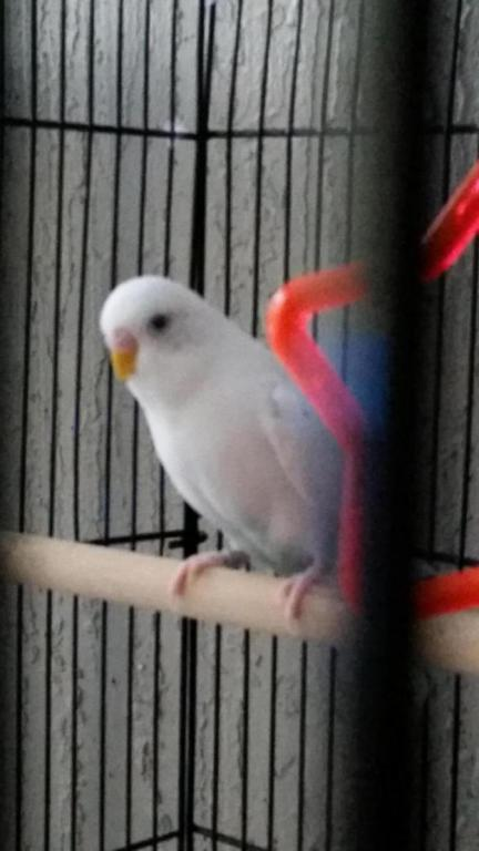 what sex is my budgie?-14286208380261643149047_1428620877821.jpg