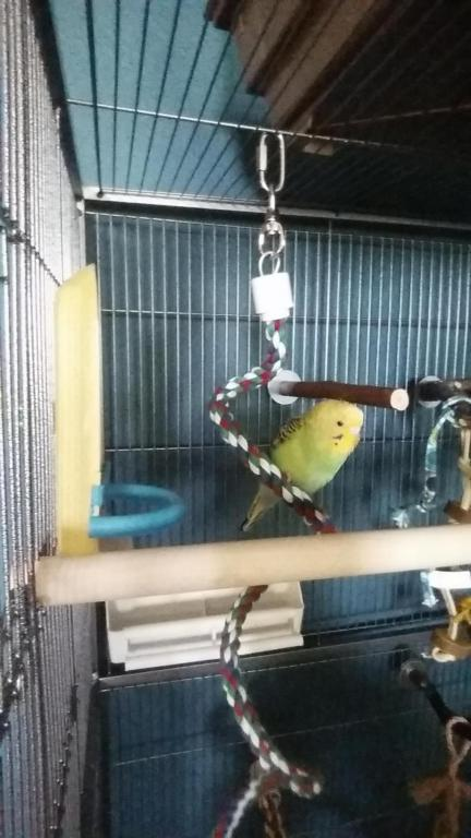 Budgie stretching, puffing, and preening a lot..-1439648701467-1066410575_1439649256332.jpg