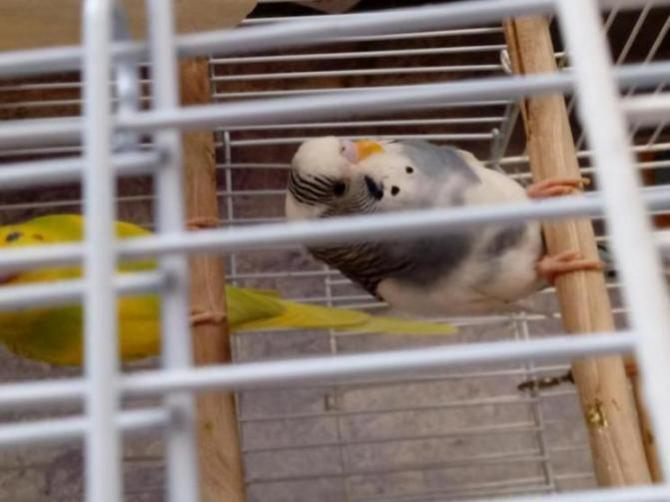 Budgie not active but eats all day still-15281429070991985048479_1528142958024.jpg