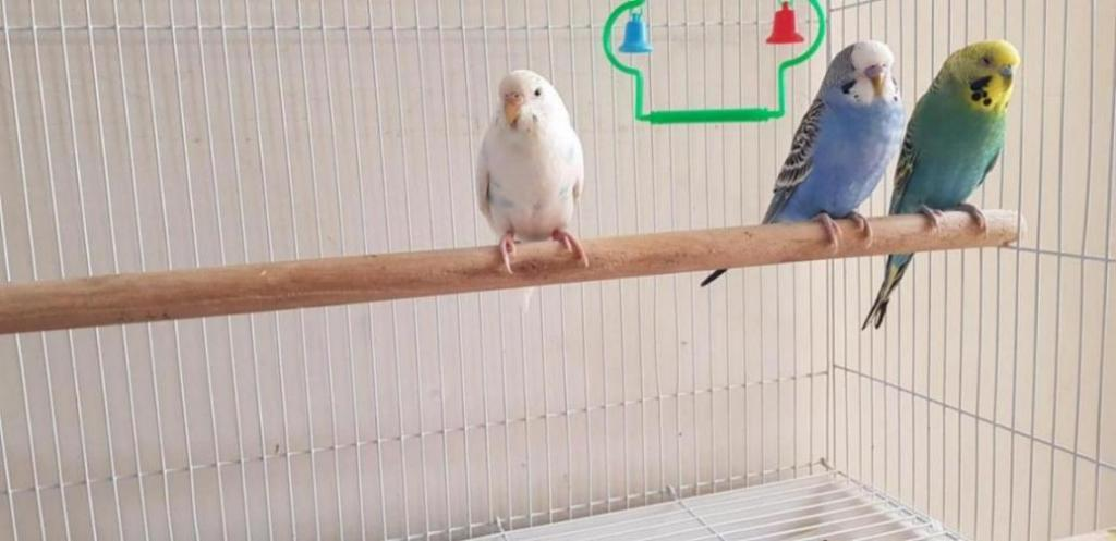 New budgies-1538202376230515625229905903972_1538202401910.jpg