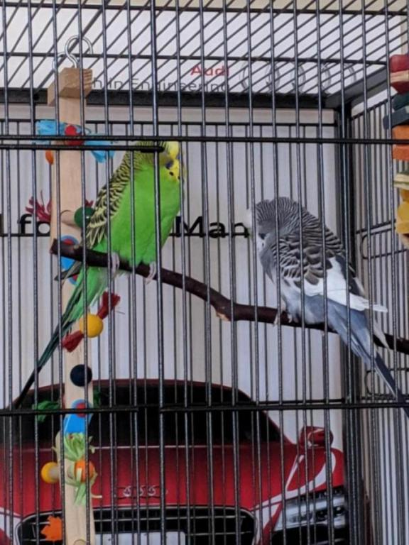 Burb Birb's Budgies (Ongoing Picture Thread)-15640232605163192385928273456224_1564023281040.jpg