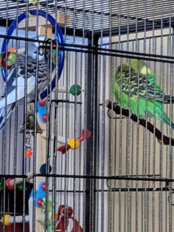 Burb Birb's Budgies (Ongoing Picture Thread)-15640654557336857088583615901598_1564065470786.jpg