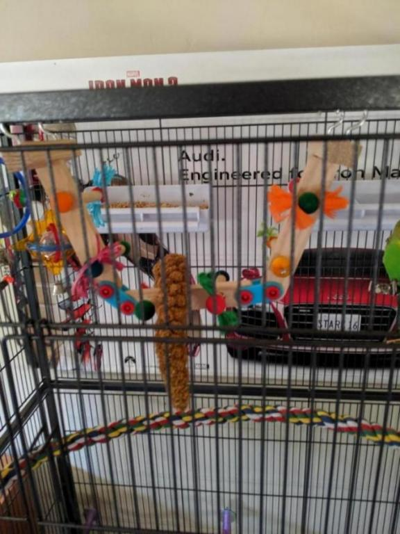 Burb Birb's Budgies (Ongoing Picture Thread)-15643672430413823000302701708827_1564367254167.jpg