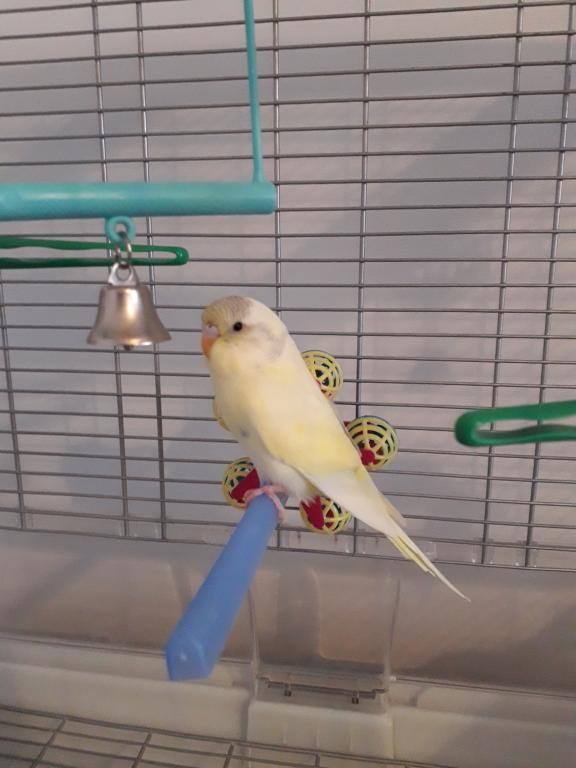 New Budgie - taming - advice needed-181031-elwin-day-5-cage.jpg