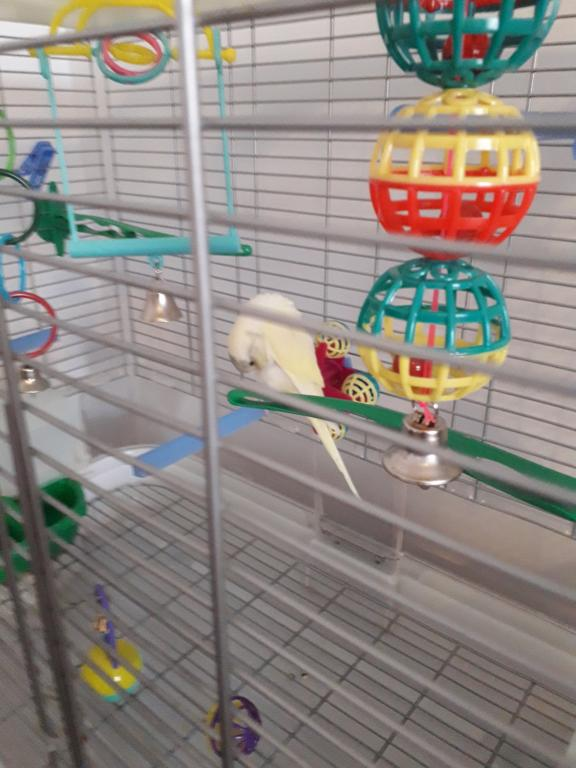 New Budgie - taming - advice needed-181031-elwin-day-5-preening-cage.jpg