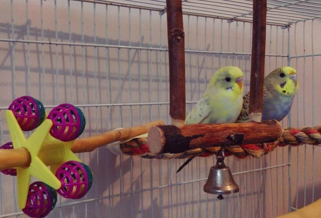 My baby budgies are in love- are they trying to mate?-18527291_1384645474914761_2764460865472131257_o.jpg