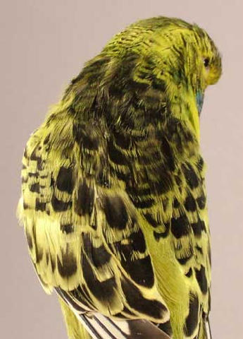 New budgie mutation-19142480.jpg