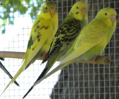 New Budgies...What are they?-1_3yellowd.jpg