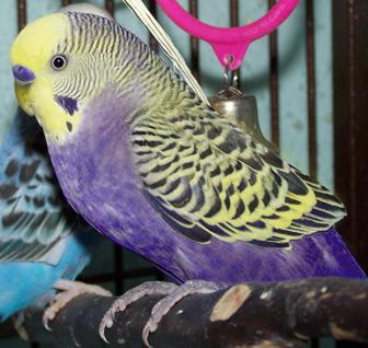 Are these birds real?-1_violet_yft2.jpg