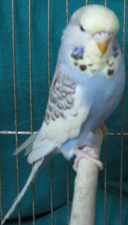 which kind of yellow face is my budgie-2.jpg