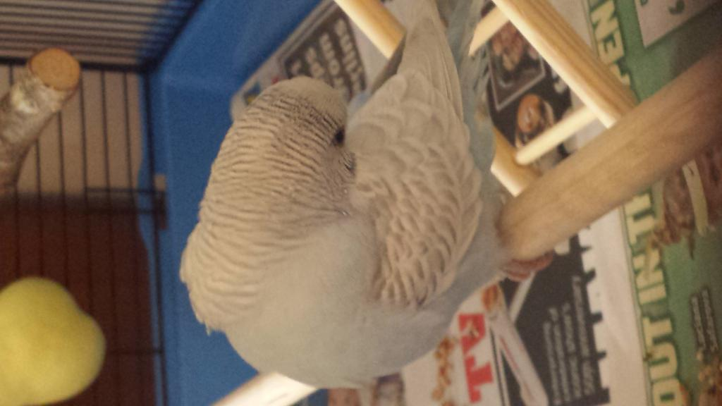 New Budgie - My first - Curious of his Age & Mutation?-2.jpg