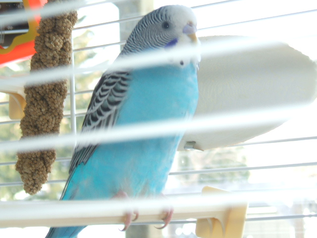 """Ok what is the """"technical name"""" of my budgie-2008_1123image0013.jpg"""