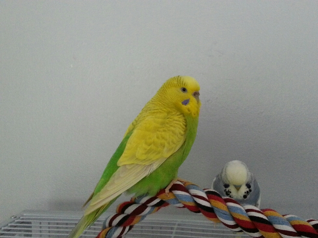 help with telling me my mutations of my budgies-20120919_121435_resized.jpg