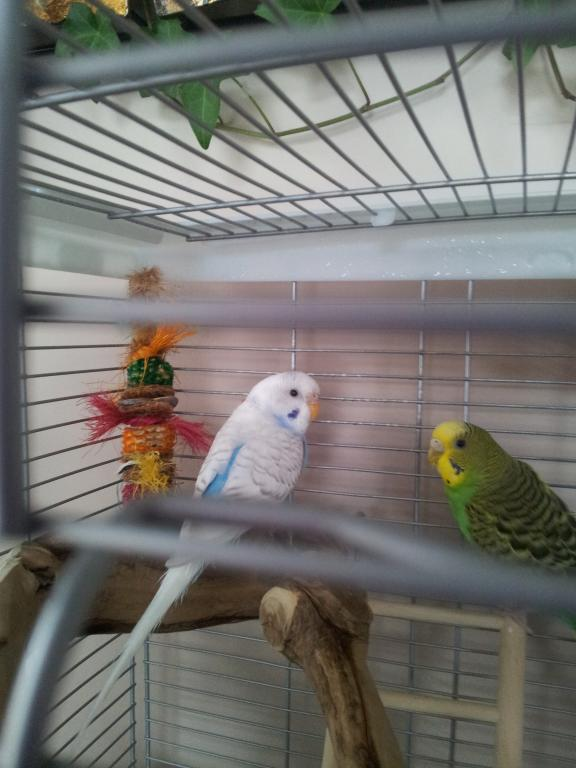 What kind of budgie do I have?-20130109_151131.jpg