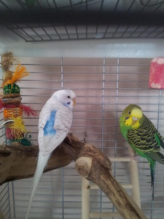 What kind of budgie do I have?-20130109_151140.jpg