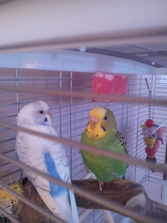 What kind of budgie do I have?-20130109_155350.jpg