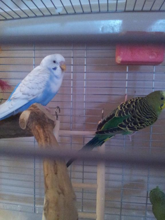 What kind of budgie do I have?-20130109_155610.jpg